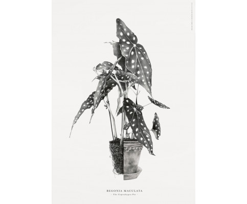 Plakat, illustration (Begonia maculata) By: Julie Kessler