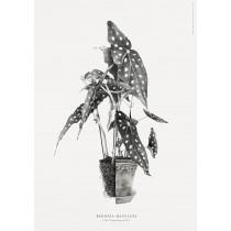 Bergs Potter plakat (Begonia maculata)