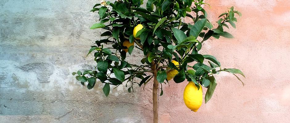 spiselige planter